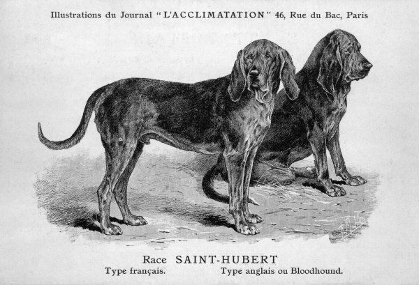 Two dogs, one standing, one sitting. Known in France as 'Saint Hubert' dogs