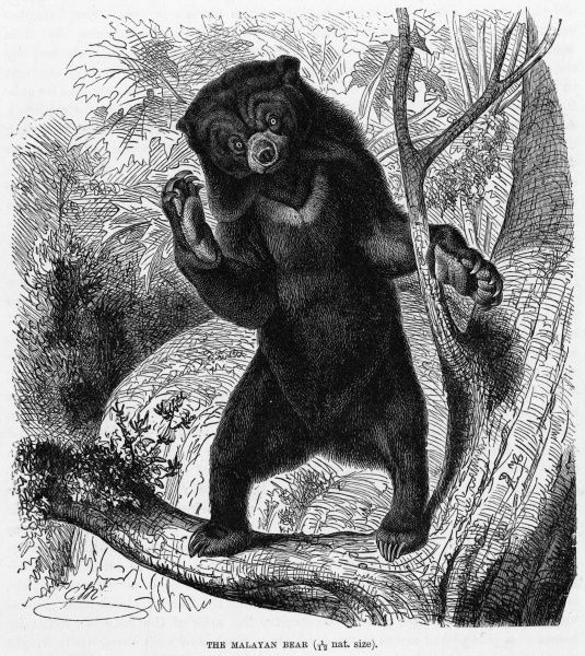 (ursus thibetanus ?) This is the Malayan bear : generally similar to the Asiatic Black Bear