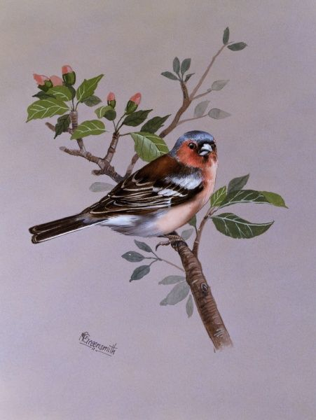 A male chaffinch (Fringilla coelebs), perched on a shrub in bud. Painting by Malcolm Greensmith