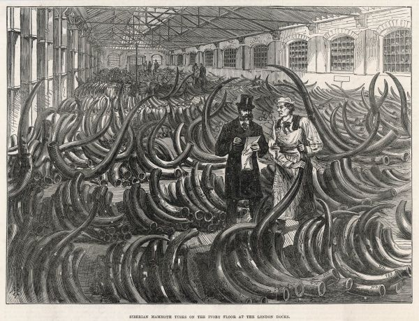 Mammoth tusks are imported from Siberia to Britain, enough of them to fill a warehouse at London Docks