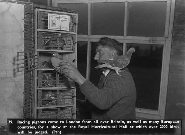 A man with racing pigeons, sent to London from all over Britain and from European countries to take part in an Old Comrades Show involving over 2000 birds at the Royal Horticultural Hall