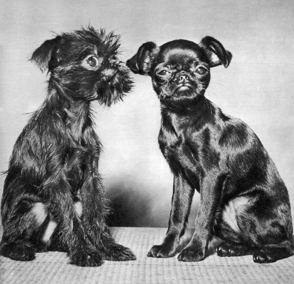 Two little Griffon puppies, one smooth and glossy after a trip to the poodle parlour, the other scruffy and dishevelled, make a contrasting pair