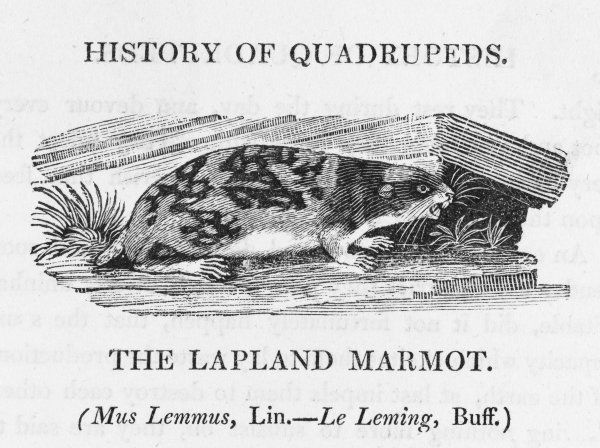 mus lemmus - the LAPLAND MARMOT is better known as the LEMMING, a creature given to mass migrations of which Bewick gives a graphic account