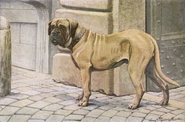 Mastiff, gaurding the entrance to a building. the dog is wearing a studde collar Date: 20th century