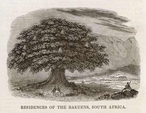 Showing a big tree capable of holding many small domed dwellings which kept their inhabitants (the Bakuens of South Africa) safe from wild animals