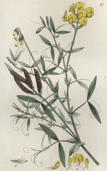 Meadow Vetchling - Lathyrus Pratensis, Coloured engraving by Johan Wilhelm Palmstruch, (1770-1811), Date: 1800s
