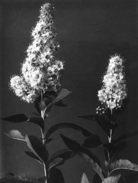 Meadowsweet is a common fen plant, normally found growing amongst other tall herbs. From June to October it is covered in clumps of small, sweet- smelling white flowers. Date: 1930s