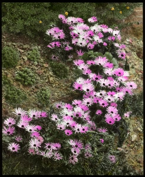 Mesembryanthemum (Midday Flowering) Tricolor, a flowering plant of the Aizoaceae family native to southern Africa with daisy-like petals in three different shades of pink