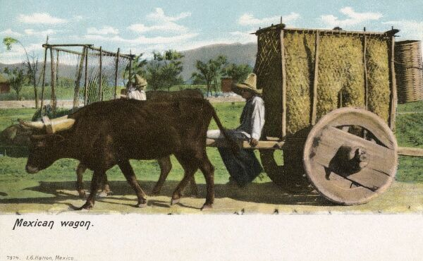 Mexican oxen-led wagon with solid wooden wheels transporting a load of hay Date: circa 1910s