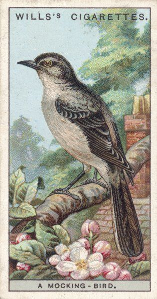 (Mimus polyglottus) An American bird renowned for its vocal powers