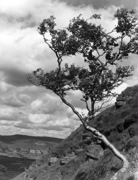 A birch tree growing on a steep mountainside near Cwmdare, Glamorganshire, Wales. Date: 1950s