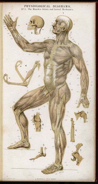 Physiological diagram of the muscles, joints and animal mechanics of the human body