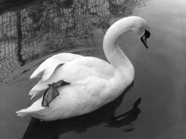 Study of a mute swan. Date: 1960s