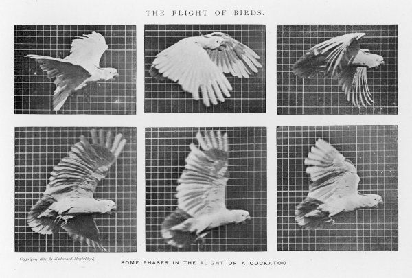 Some phases in the flight of a cockatoo Date: 1880s