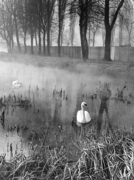 An eerie morning mist creeps over the River Nene, Northampton, England. Two swans glide across the still water... Date: early 1960s