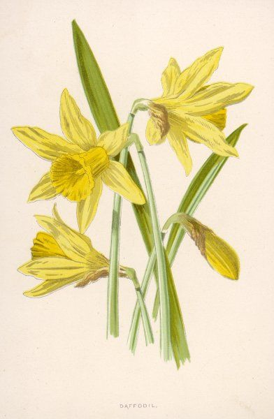 DAFFODIL (Narcissus pseudo- narcissus Amaryllidacea)