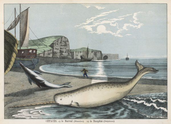 A narwhal (monodon) on the shore : behind it is a dolphin (delphinus)