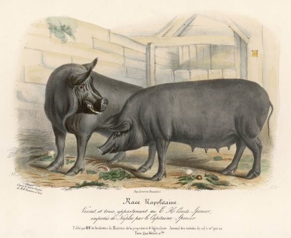 Neapolitan pigs imported from Italy by Captain Spencer on behalf of Earl Spencer