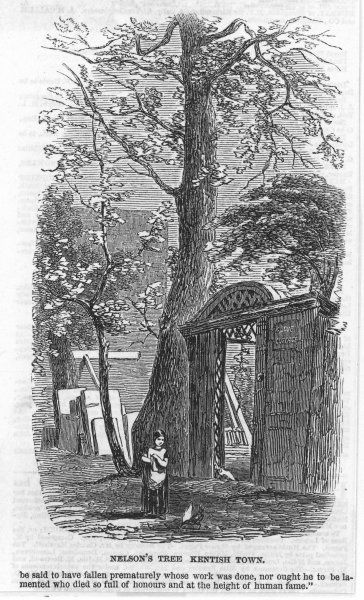 HORATIO LORD NELSON Sycamore tree planted by the English naval officer as a boy, at the entrance to his uncle's home, Grove Cottage, Kentish Town, North London