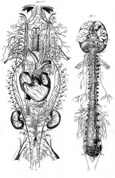 The nervous system of the spine and the front body according to Vieuffens Date: Circa 1760