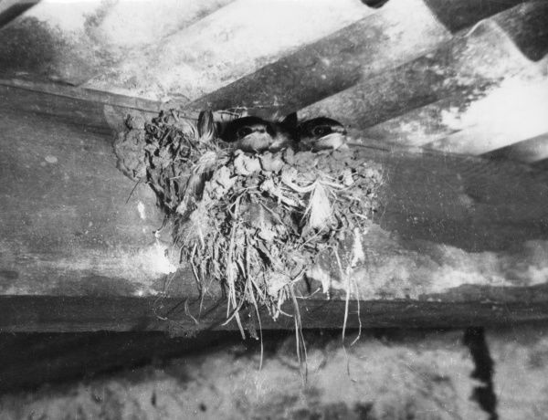 A Swallow's nest, full of fledglings, up in the rafters. Date: 1950s