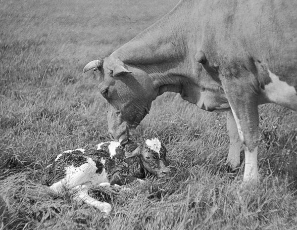 A newly-born Guernsey (Channel Islands) calf, only a few minutes old, being licked clean by its mother