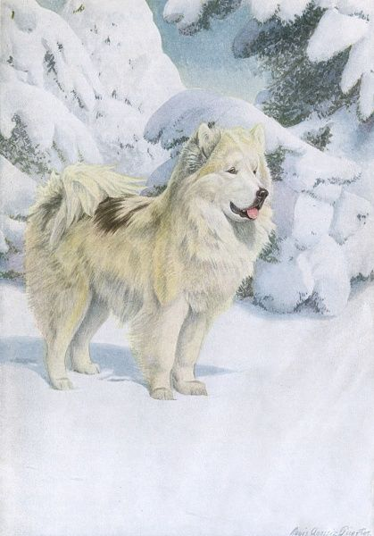 North Greenland Eskimo dog, stood in the snow Date: 20th century