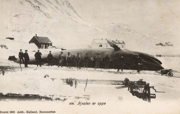Hammerfest - a city and municipality in Finnmark county, Norway. A huge Blue Whale has been caught and brough ashore. The whaling crew responsible stand in front of their magnificent catch. Date: 1902
