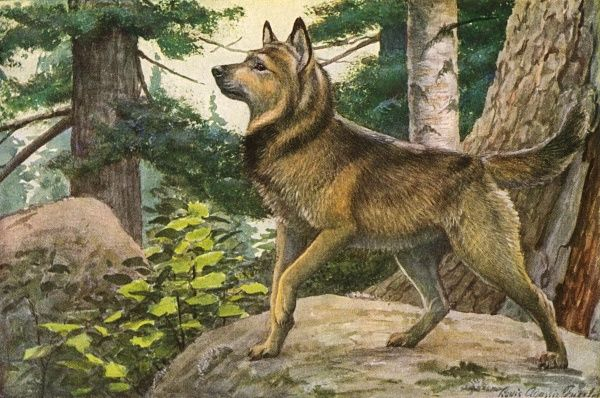 Norwegian Elkhound, standing on a boulder in the forest Date: 20th century