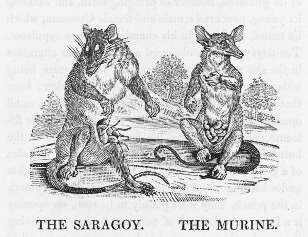 Left, the SARAGOY, or MULUCCA OPOSSUM, from the East Indies. Right, the MURINE, from the warmer regions of South America