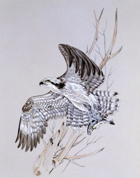 An Osprey (Pandion haliaetus) launching into flight with a caught fish secured in its talons. Painting by Malcolm Greensmith