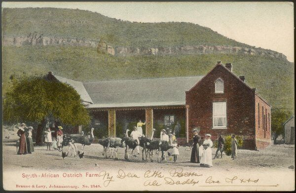 An ostrich farm in South Africa ; at this time they were prized for their feathers which adorned fashionable ladies' hats in a charmingly picturesque manner