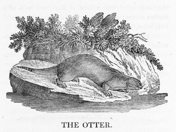 mustela lutra : le loutre, according to Buffon. Loved by some, hunted by others, the otter lives a marginal existence in and out of water