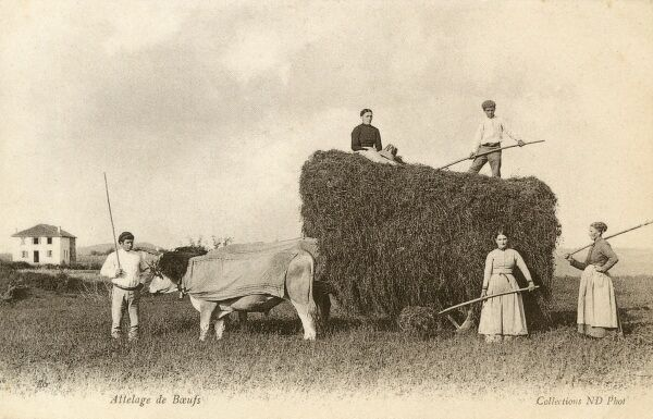 French countryside scene - an Ox team drawing a hay cart. Date: circa 1903