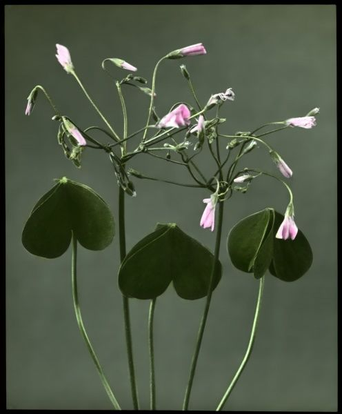 Oxalis Crassipes Rosea (Strawberry Oxalis, Wood Sorrel), a perennial flowering plant of the Oxalidaceae family, with rose-pink flowers. Seen here at night, with the flowers closed