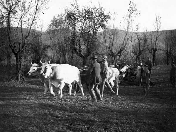 Oxen being used to pull heavy artillery during the First World War Date: 1914-1918