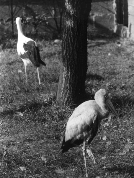 A Painted Stork and a White Stork. Date: 1960s