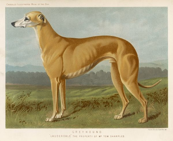 An example of a fallow colour Greyhound, standing. A large dog, showing a lot of muscle, especially his shoulder