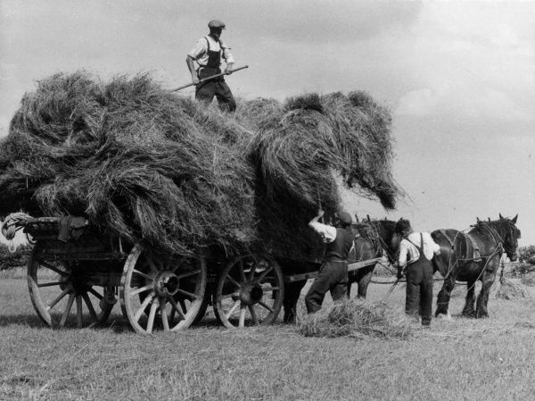 Bringing in the harvest, using an old-fashioned pair-horse haywain on a Lincolnshire farm, England. Date: 1950s