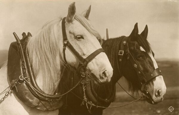 A lovely pair of working horses, both wearing large heavy horse collars. Date: circa 1920s