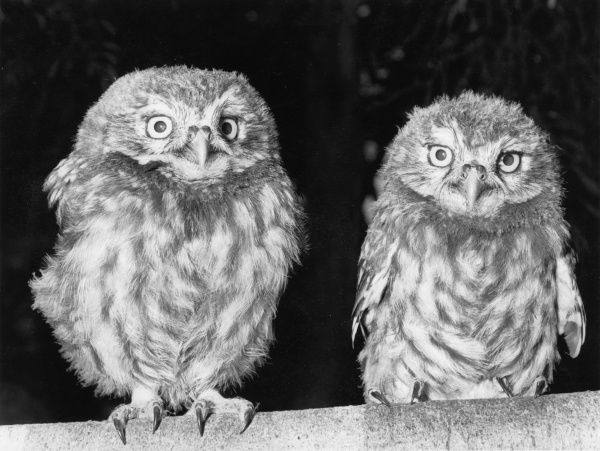 A pair of young Little Owls. This small owl was introduced to the UK in the 19th century. It can be seen in the daylight, usually perching on a tree branch, telegraph pole or rock. It likes lowland farmland with hedges and copses, parkland and orchards