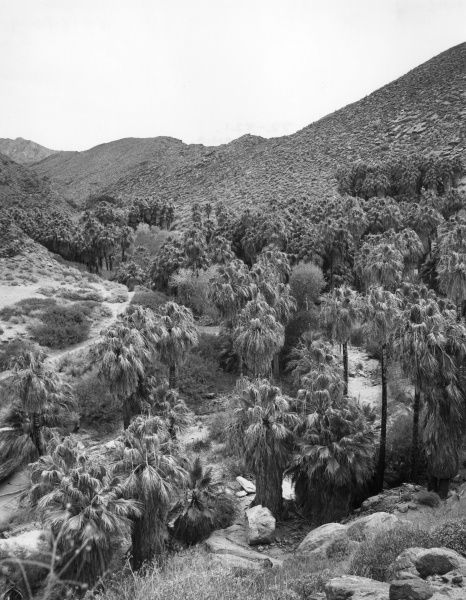 A view of Palm Canyon, in the Ague Caliente Indian Reservation, California, U.S,A, Date: 1960s