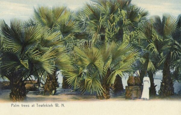 Palm Trees and the White Nile at Tewfekieh, Sudan Date: circa 1910s