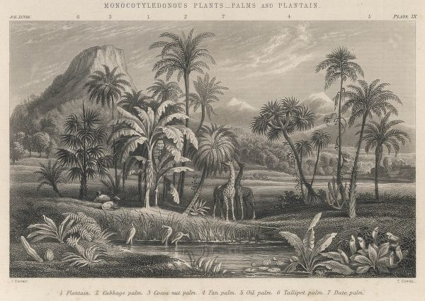 An assortment of monocotyledonous plants : palms and plantain, with a couple of giraffes drinking in the foreground