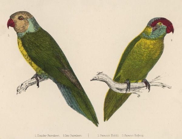 The SLENDER PARAKEET and the IRIS PARAKEET (or PARAQUET) Two members of the Palaeornithinae family