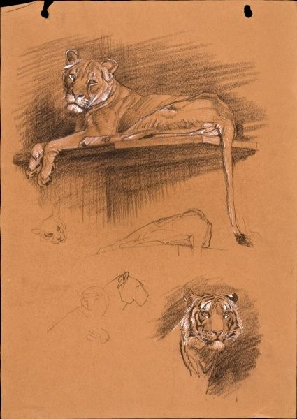 Pastel sketches of a lioness and a tiger by Raymond Sheppard