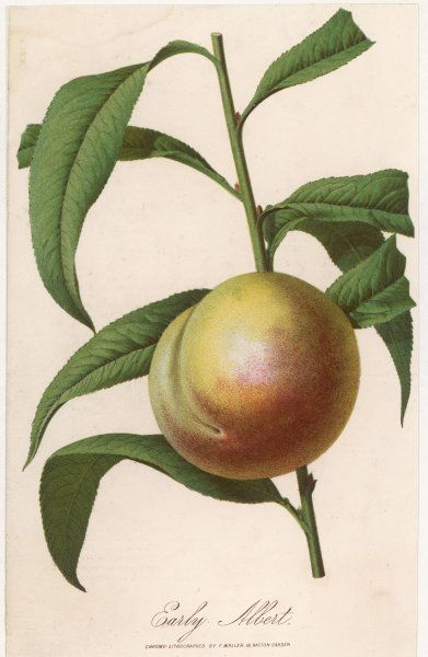 A peach: Early Albert variety