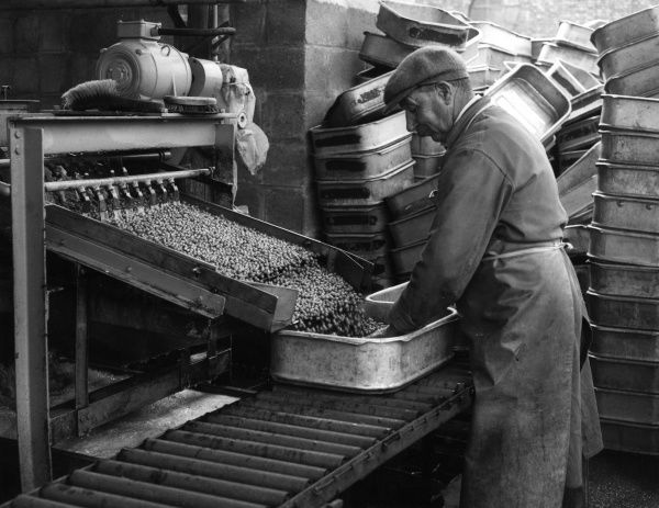 Peas for canning in Britain. A scene at the canning plant, showing shelled peas emerging from the viners, where they are fed into trays before being covered with ice. Date: 1950s
