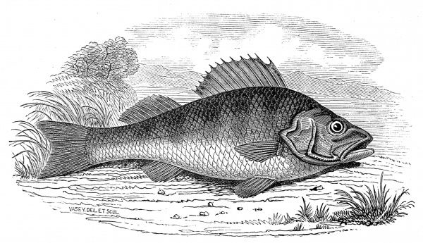 Engraving of a Perch, 1846