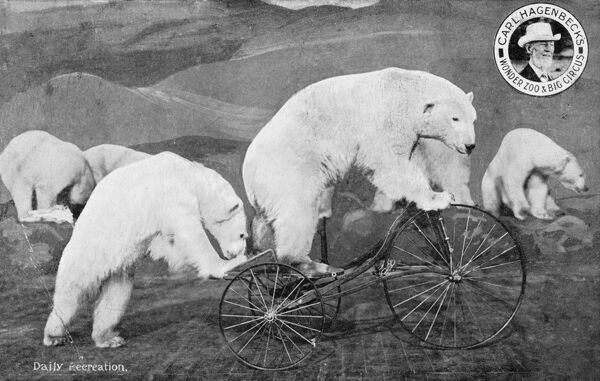'Daily Recreation'. The performing Polar Bears of Carl Hagenbeck's Wonder Zoo & Big Circus, Germany. Here a bear rides a tricycle, assisted by a friendly bear shove!